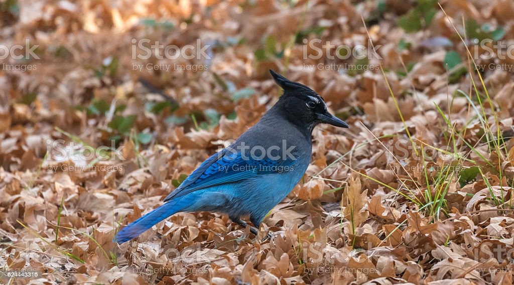 Stellers Jay in the late autumn on a back stock photo