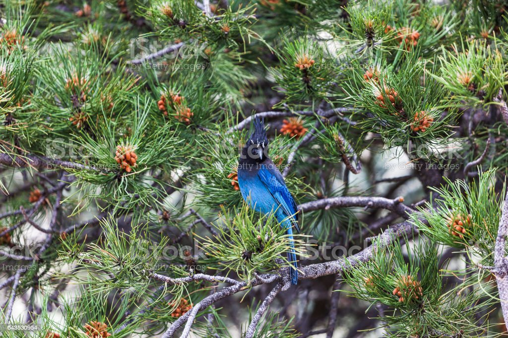 Steller's Jay on a Pine Tree in Colorado stock photo