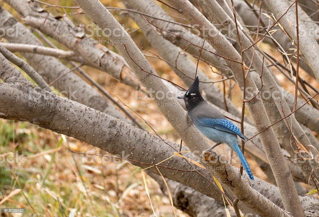 Steller's jay perched in alder tree Bear Creek Morrison Colorado stock photo