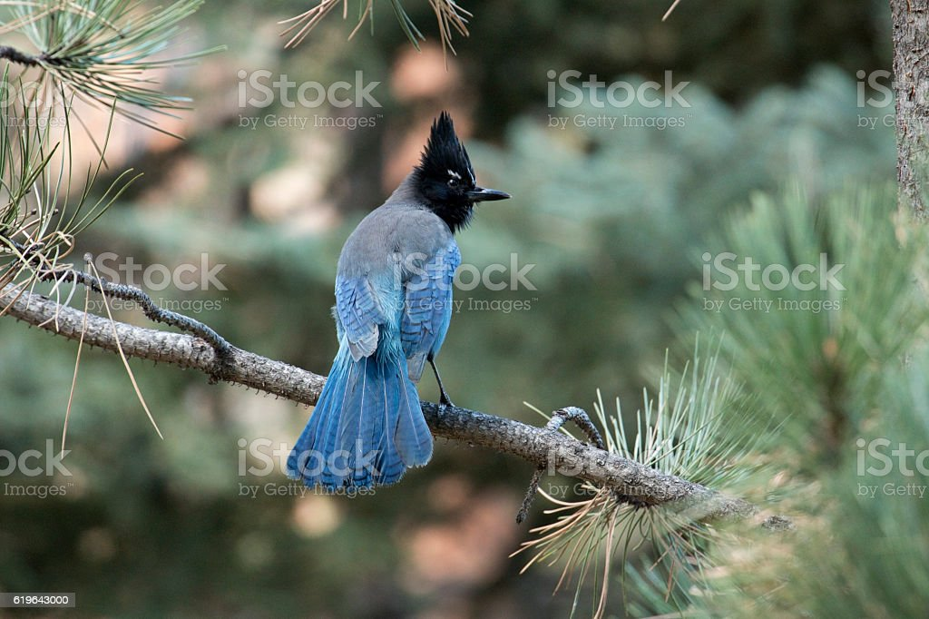 Steller's jay perched lodgepole pine tree Colorado Rocky Mountains stock photo