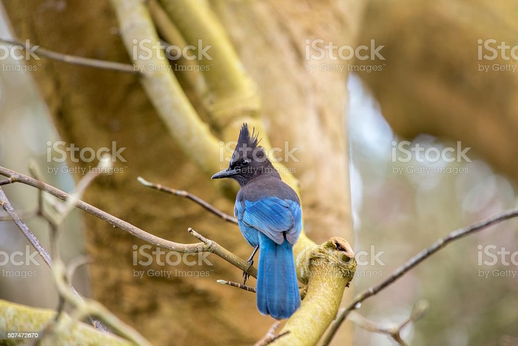 Steller's Jay (Cyanocitta stelleri) stock photo