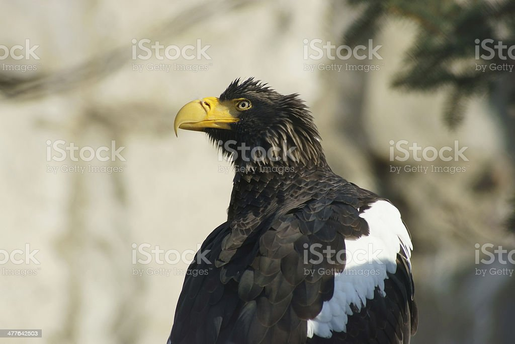Steller's sea eagle. stock photo