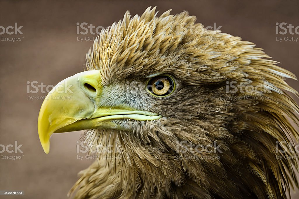 Stellers Sea Eagle stock photo
