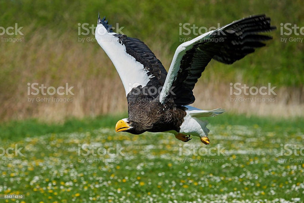 Stellers sea eagle (Haliaeetus pelagicus) stock photo
