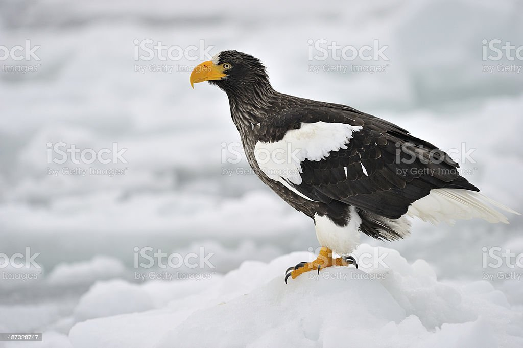 Steller's Sea Eagle standing on pack ice. stock photo