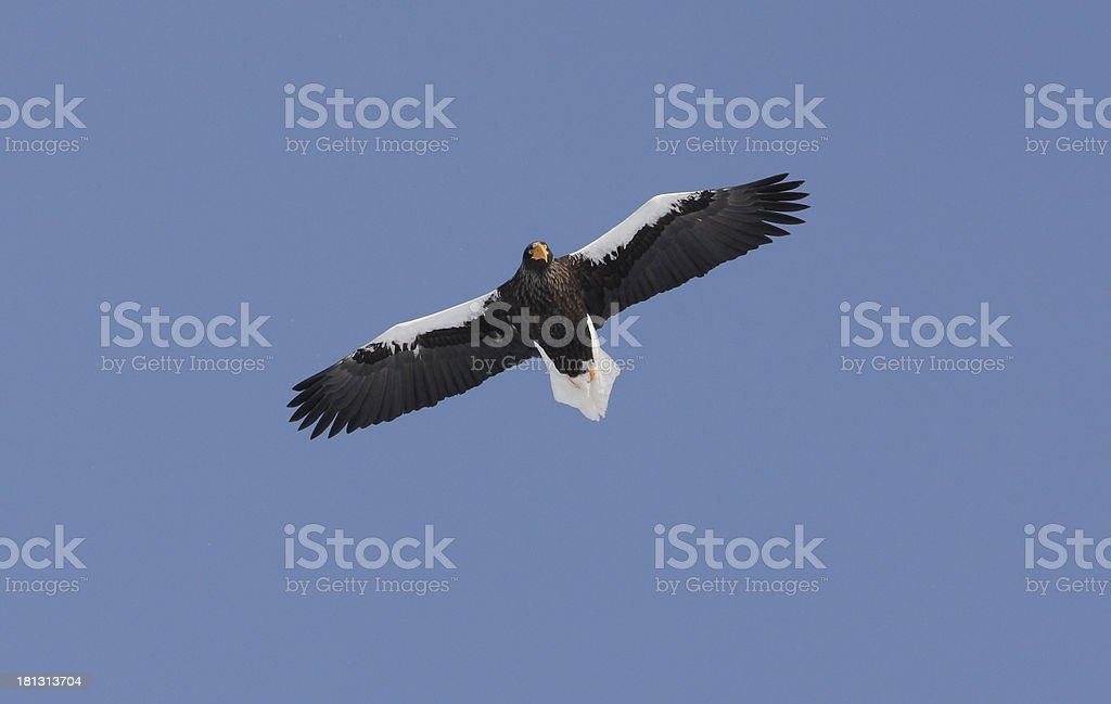 Stellers sea-eagle, Haliaeetus pelagicus stock photo