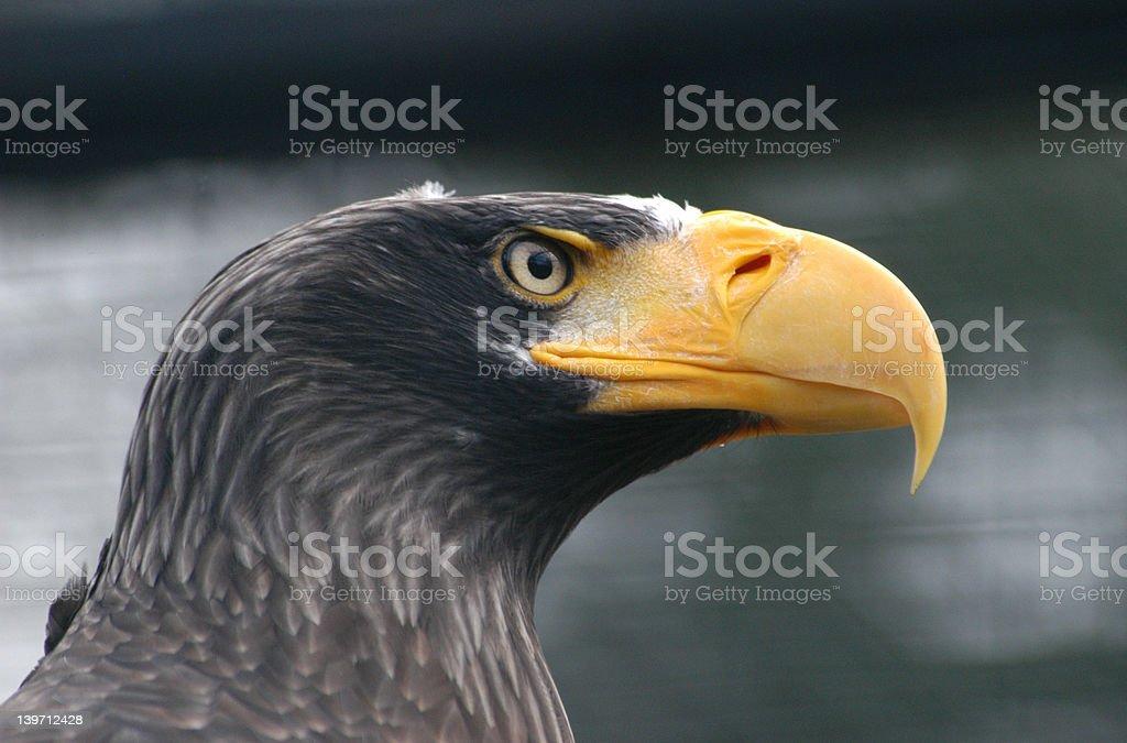 Steller's Sea-Eagle royalty-free stock photo