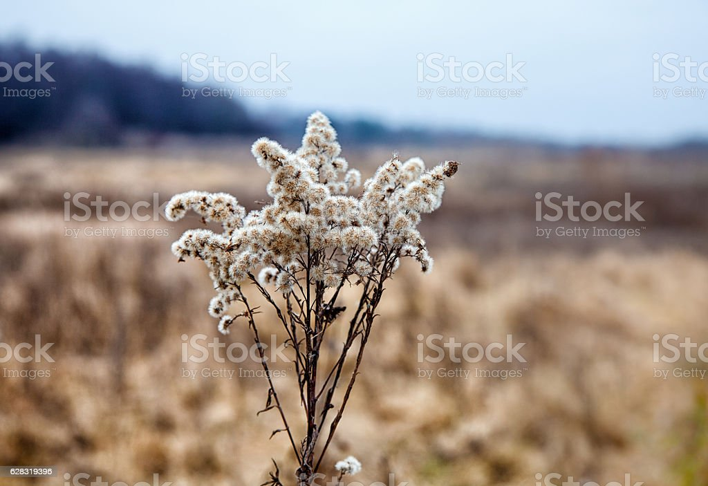 stem dried high grass in autumn stock photo