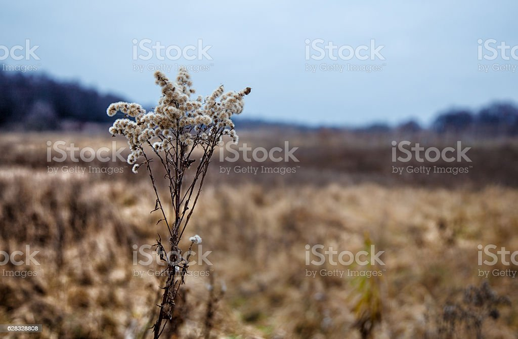 stem of dried high grass stock photo