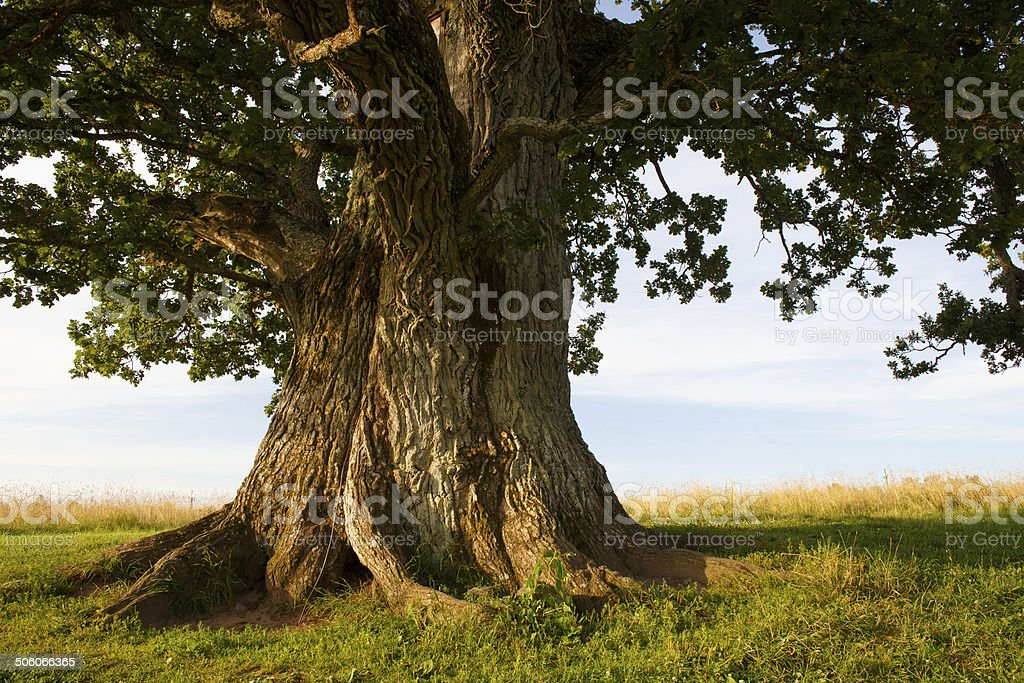 Stem of grand oak in Urvaste, Estonia stock photo