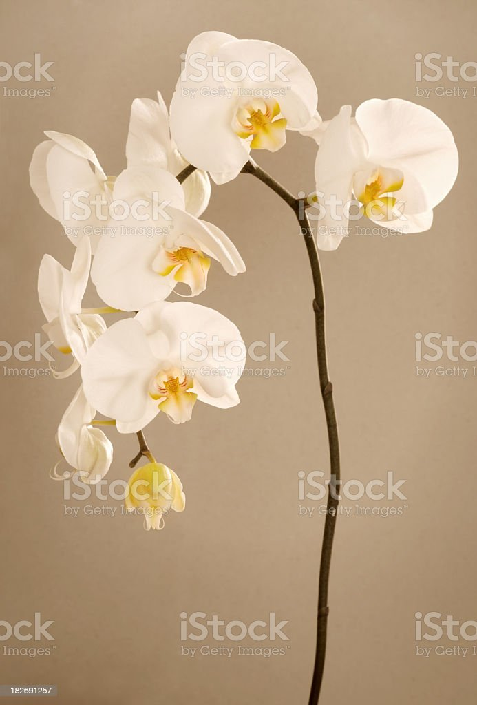 A stem of orchid with white petals and yellow column stock photo