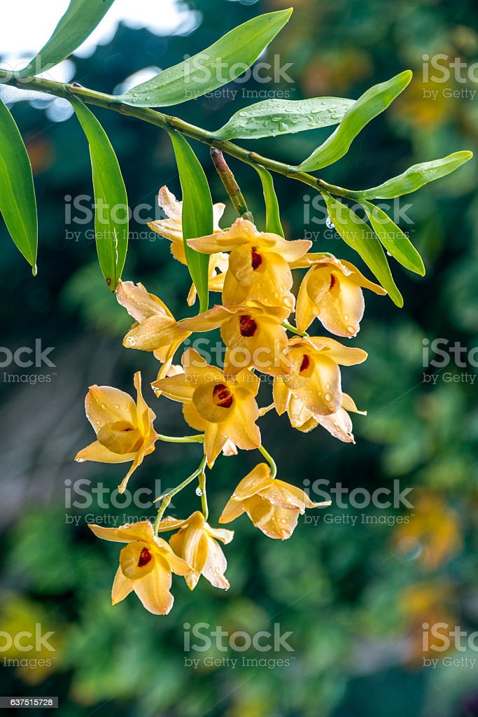 Stem of Yellow Dendrobium Orchid Flowers Covered in Raindrops stock photo