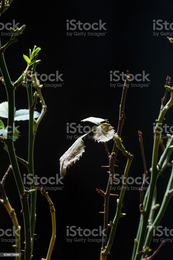 stem roses with panicle bunch in flower pot, black background stock photo