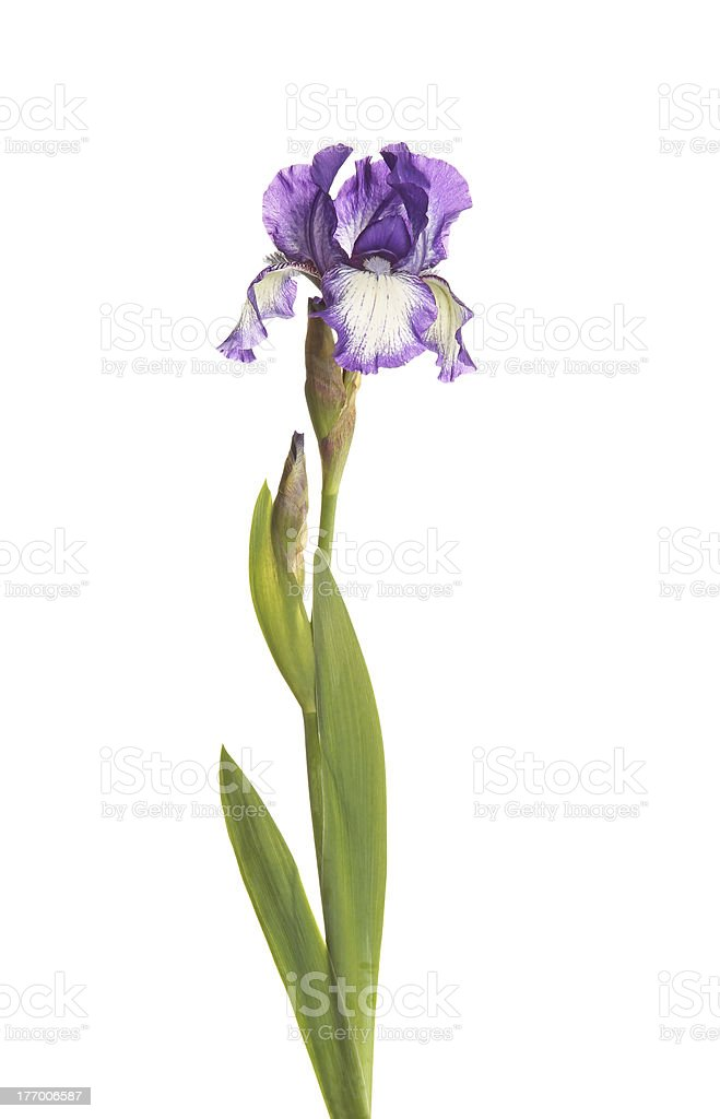 Stem with a purple and white iris flower isolated stock photo