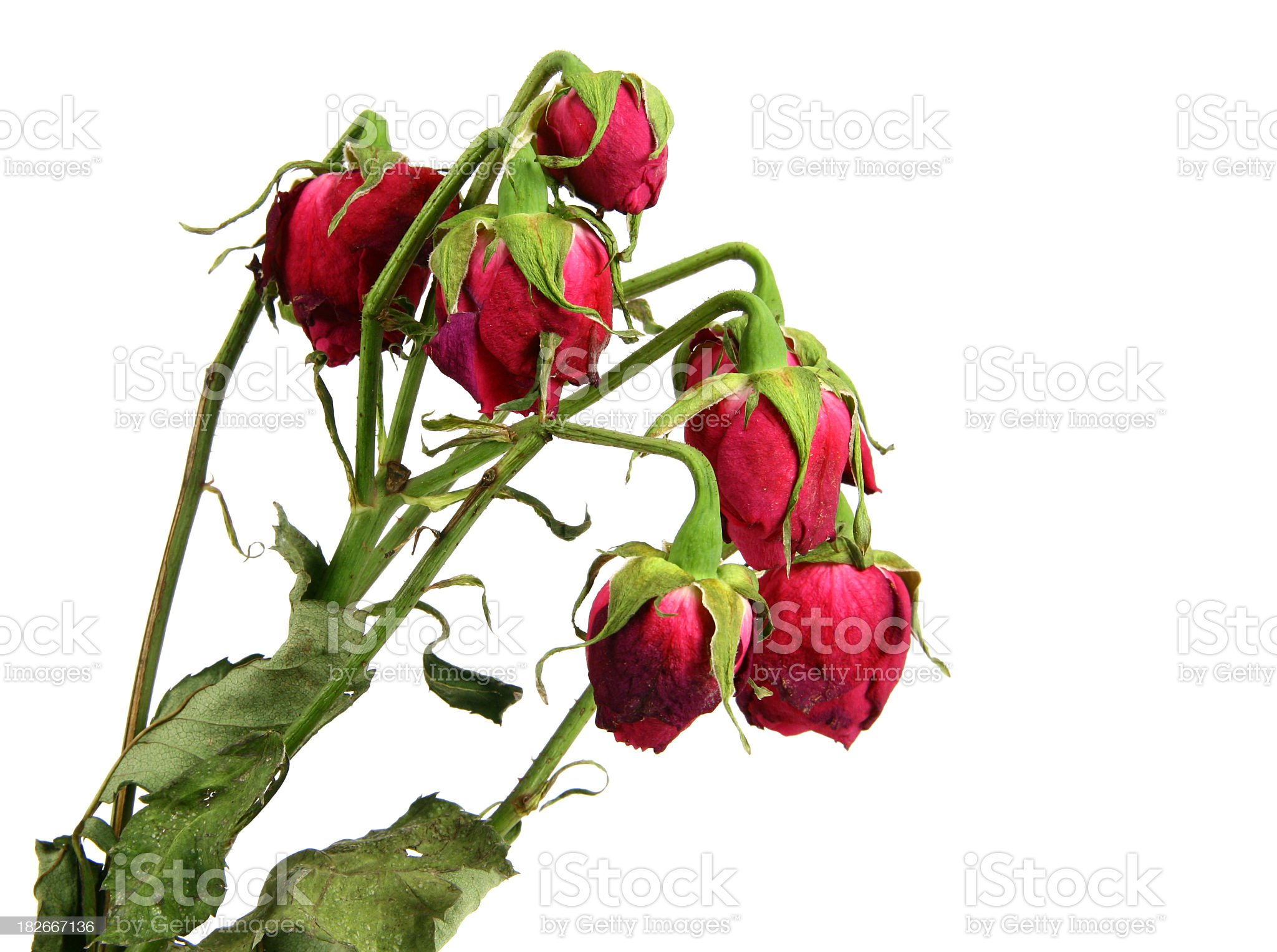 A stem with seven wilting red rose buds on it  royalty-free stock photo