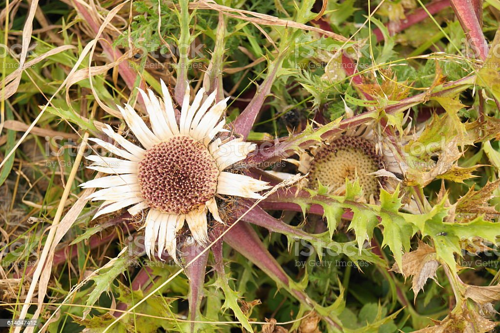 Stemless carline thistle, dwarf carline thistle, silver thistle stock photo