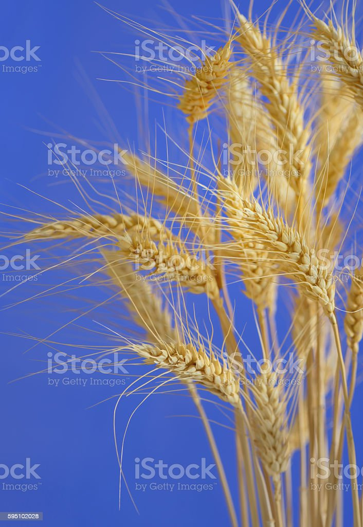 stems of wheat against blue sky stock photo