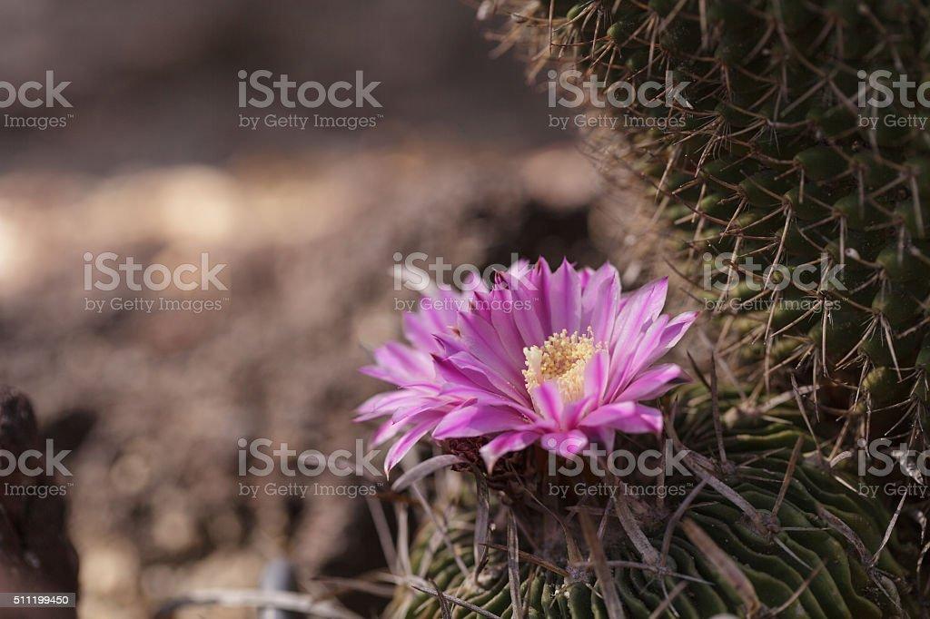 Stenocactus crispatus , Echinofossulocactus blooms stock photo