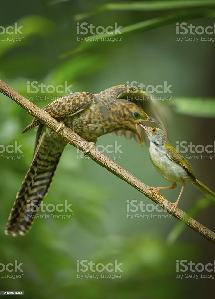 Step mother of Common Tailorbird feeding the young Plaintive Cuckoo stock photo