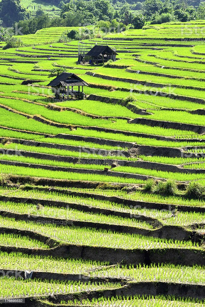 Step Rice Field royalty-free stock photo