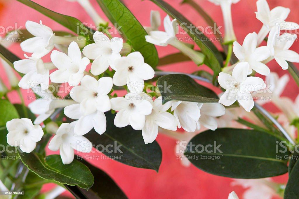 Stephanotis Flowers On Red stock photo