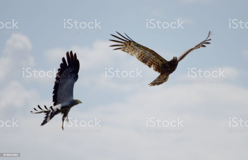 Steppe Eagle and Tawny Eagle fighting in the Rwandan sky stock photo