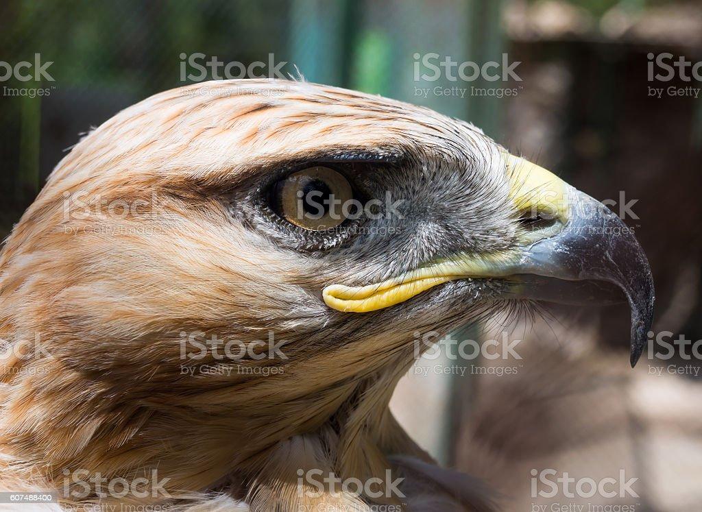Steppe Eagle head in profile close-up stock photo