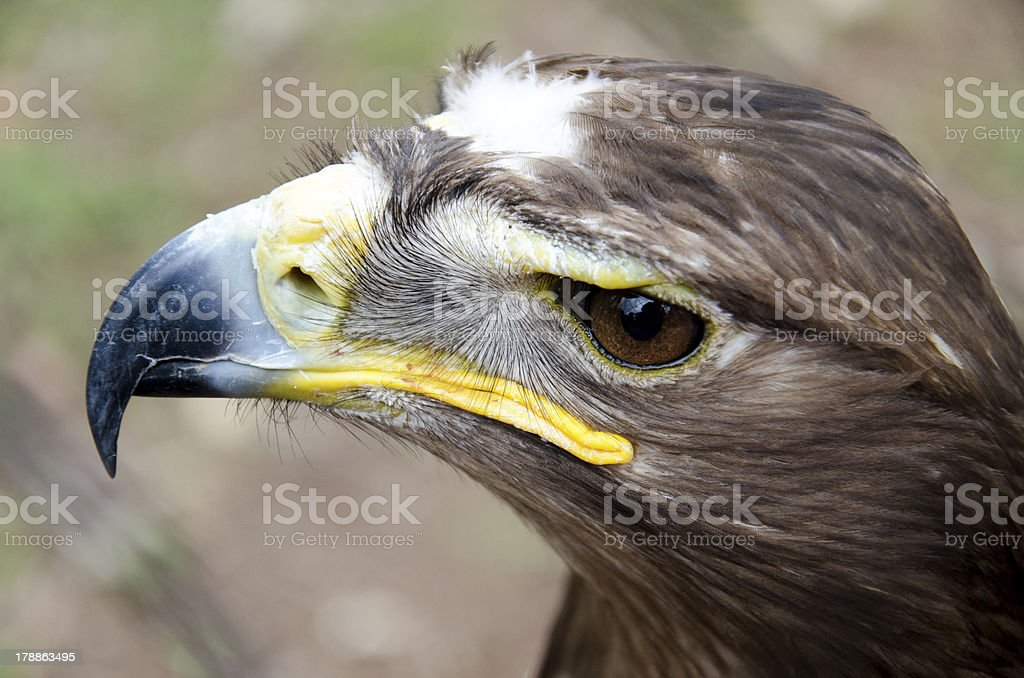 Steppe eagle royalty-free stock photo