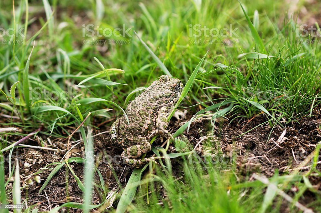 steppe earthen frog royalty-free stock photo