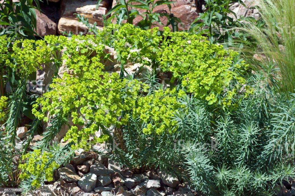 Steppenwolf milk; Euphorbia seguieriana stock photo