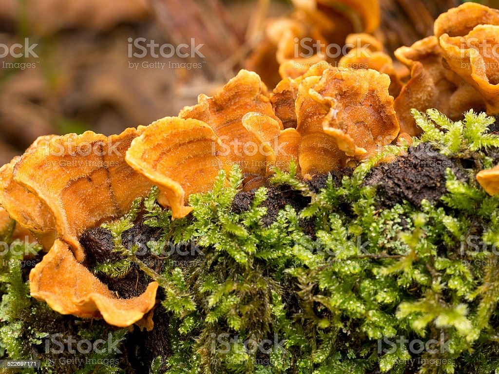 Stereum hirsutum. Orange colour fungus, in oakwood. stock photo