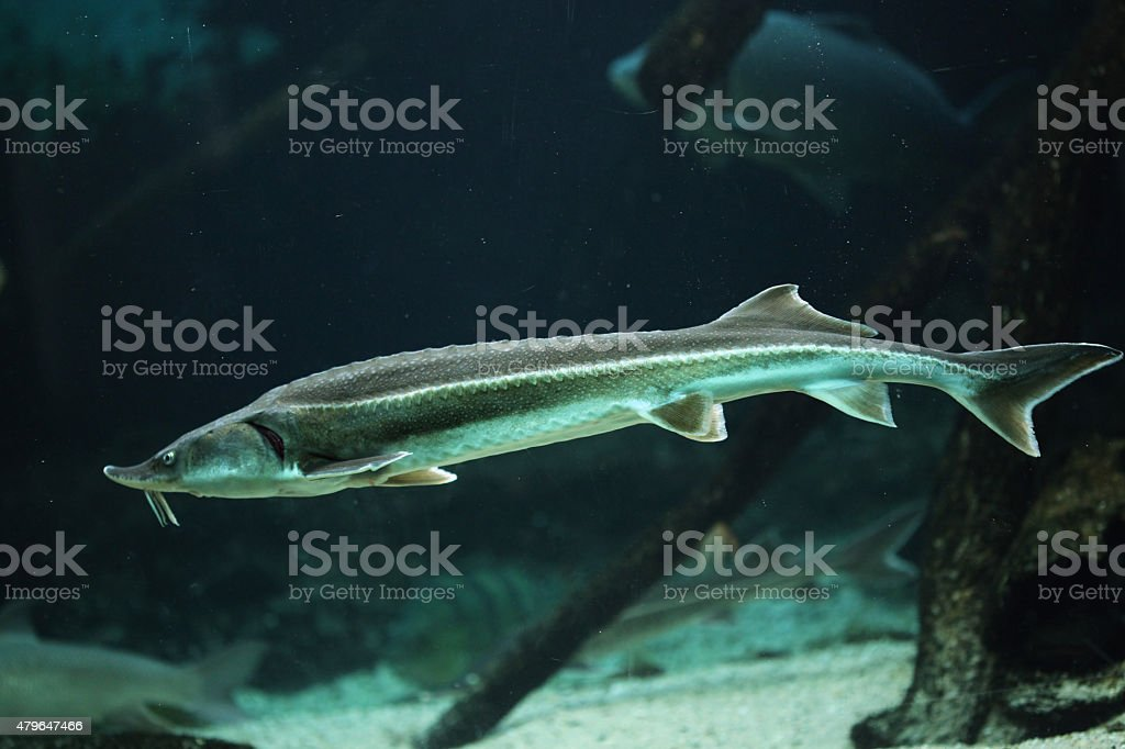 Sterlet (Acipenser ruthenus). stock photo