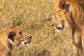 Stern look of lion. Kenya, Africa