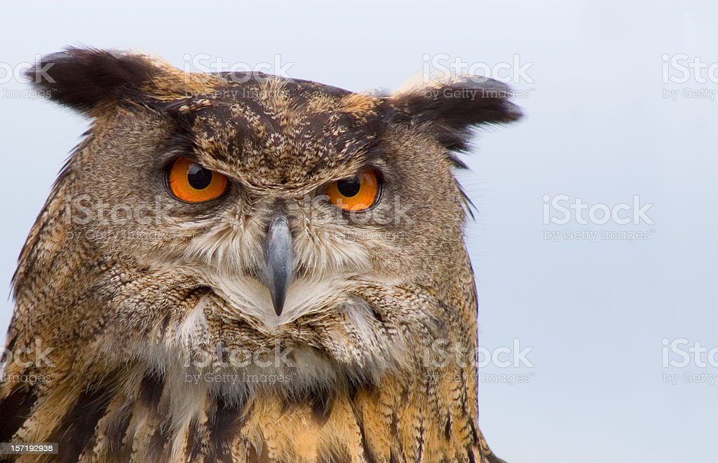 A stern looking brown eagle owl royalty-free stock photo