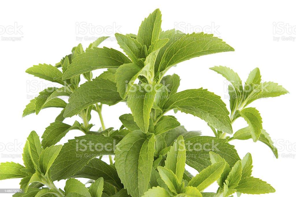 Stevia herb royalty-free stock photo