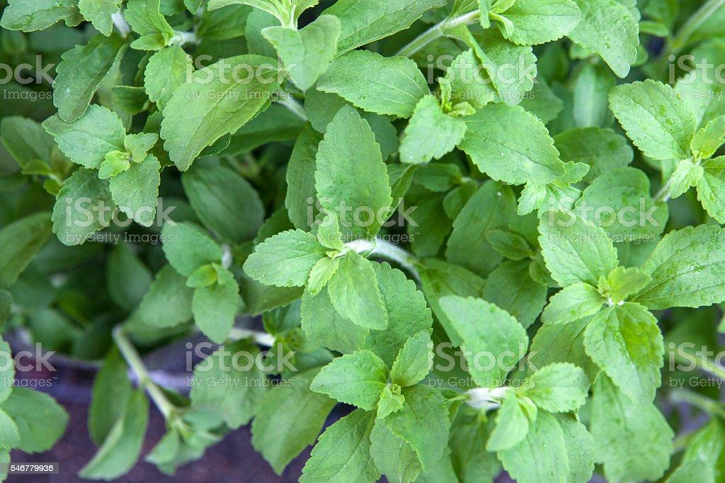 Stevia or Sweet Herb stock photo
