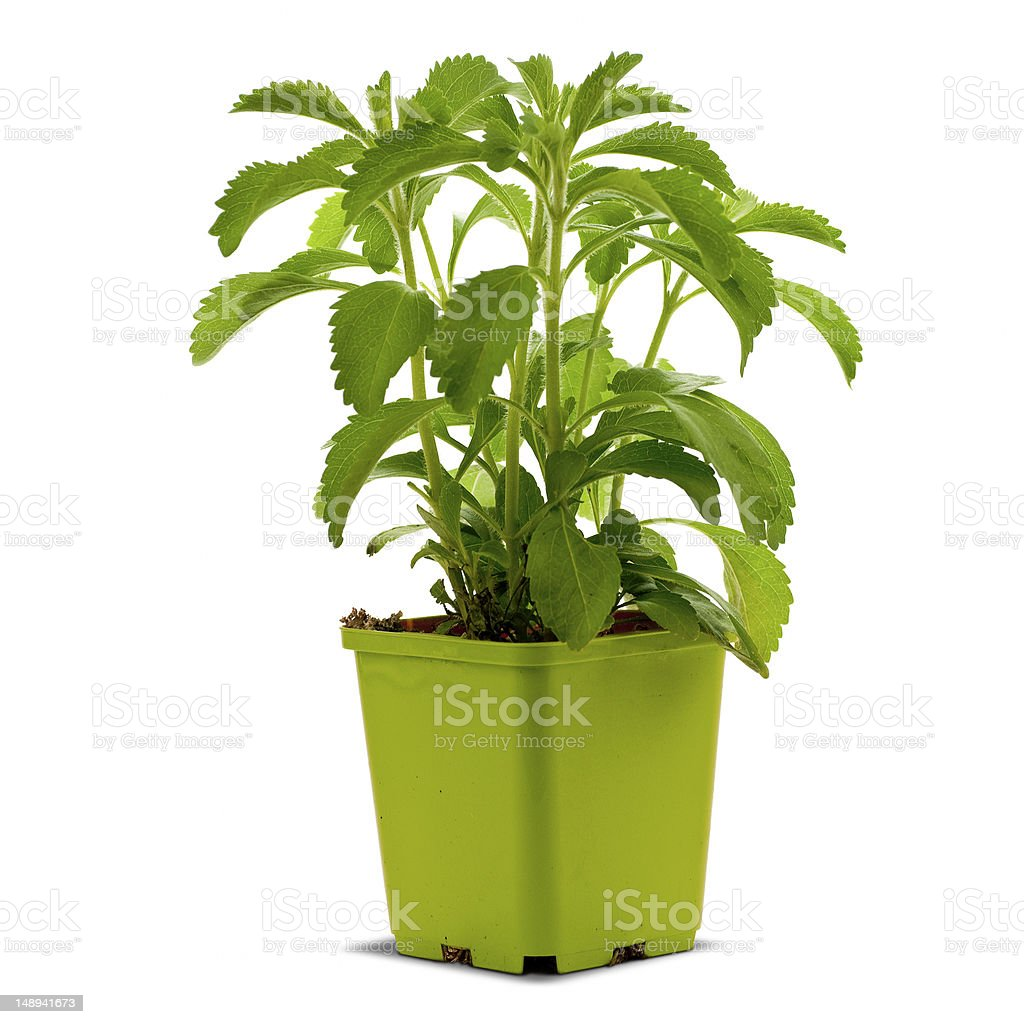 stevia plan into a bucklet stock photo