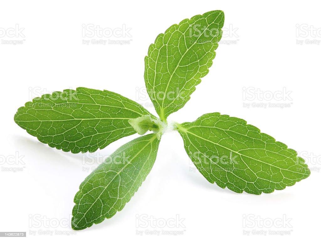 Stevia Plant stock photo
