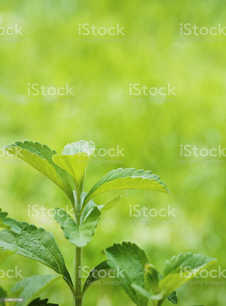 stevia rebaudiana and copyspace stock photo