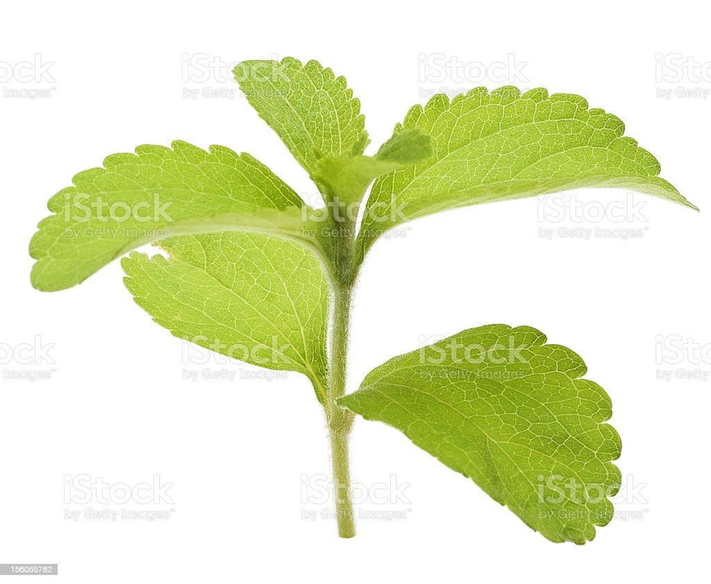 stevia rebaudiana leaves stock photo