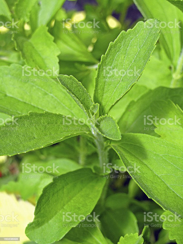 Stevia rebaudiana stock photo