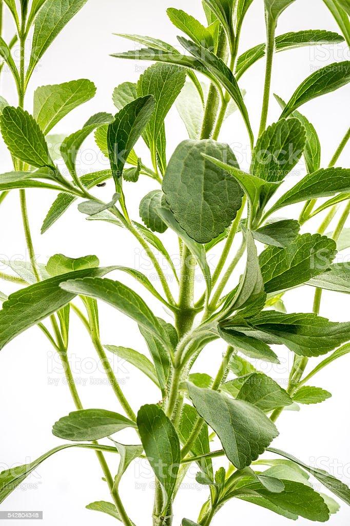 Stevia rebaudiana plant stock photo