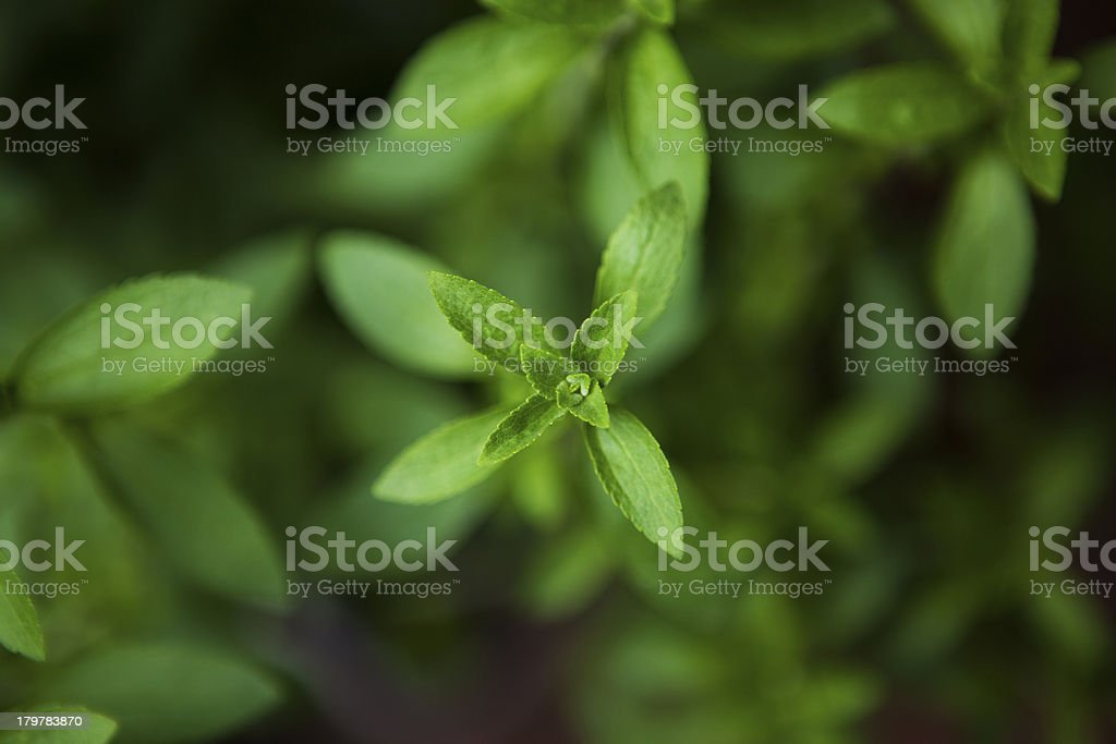 Stevia - the plant sweeter than sugar stock photo