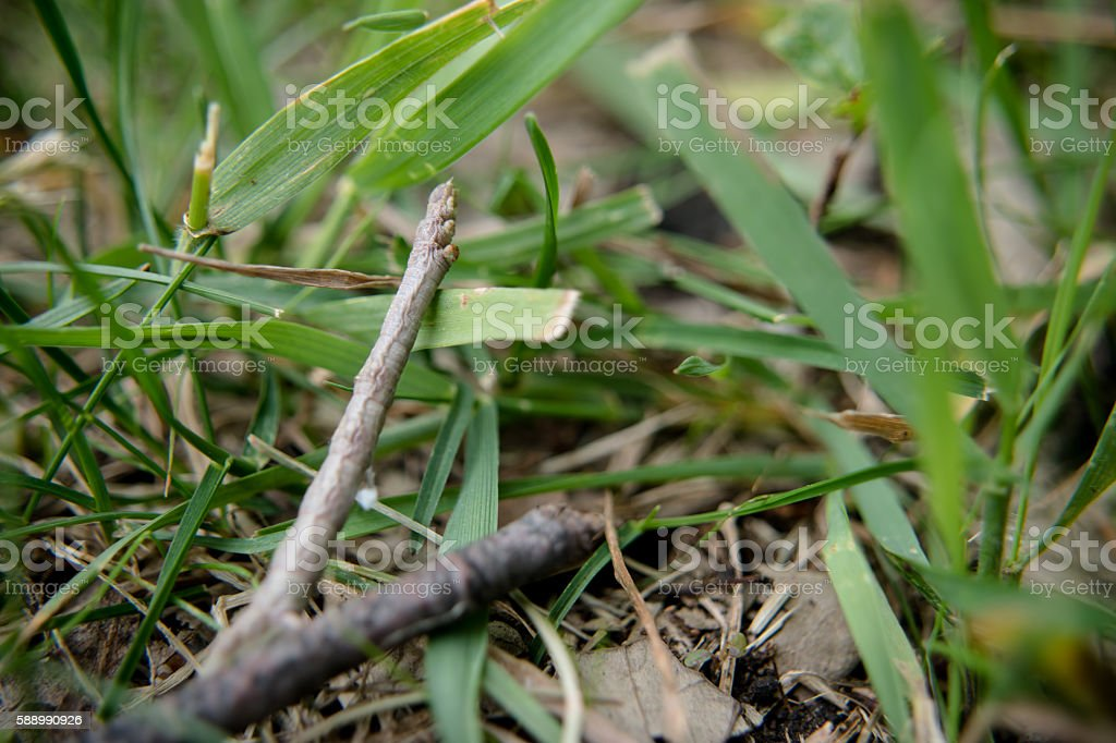 stick bug caterpilar stock photo