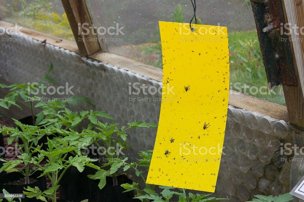 Sticky fly trap inside a greenhouse stock photo
