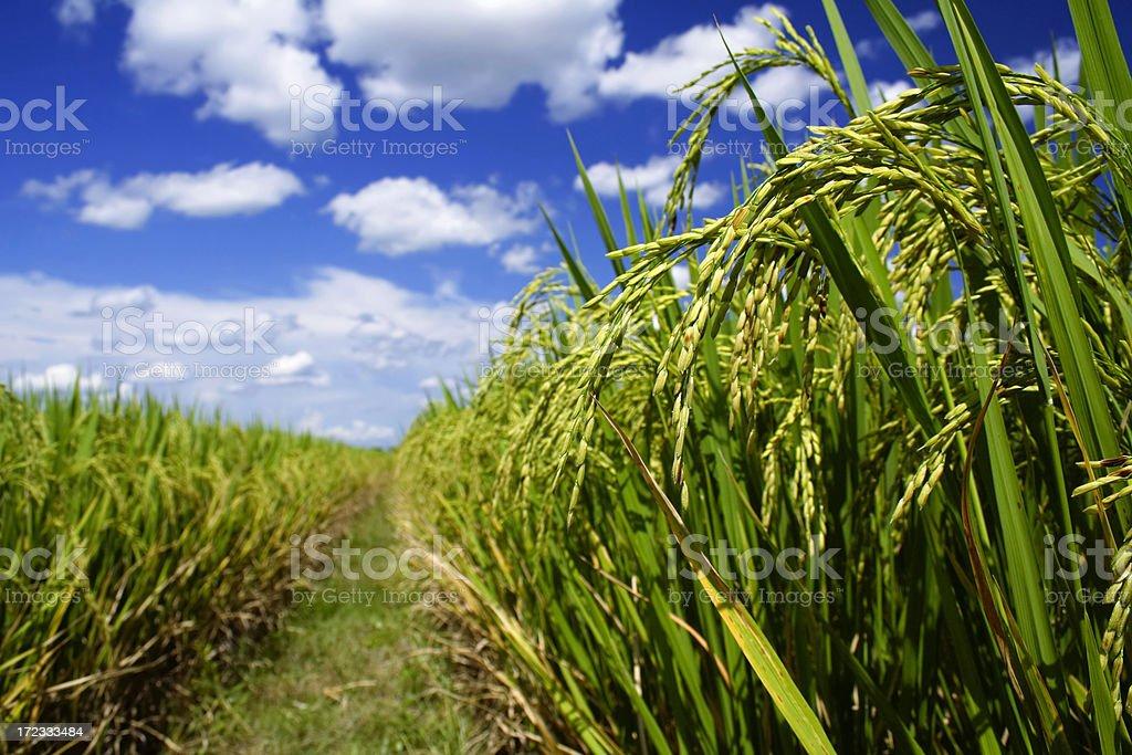 Sticky rice field 1 stock photo