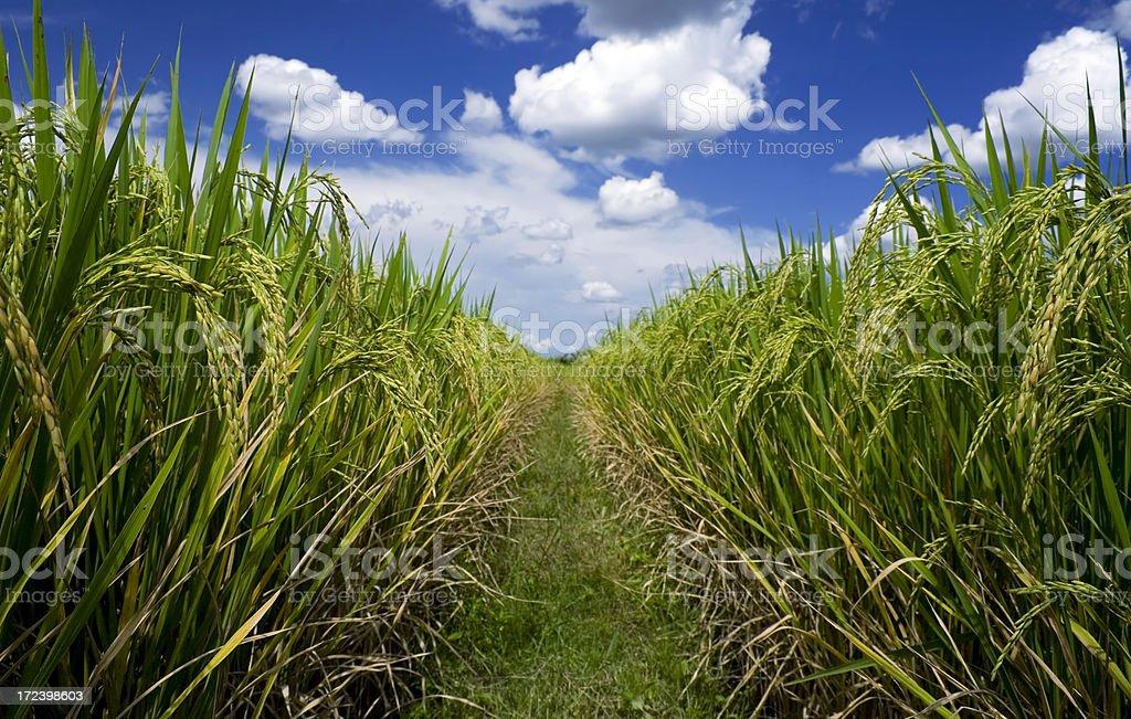 Sticky rice field 4 royalty-free stock photo