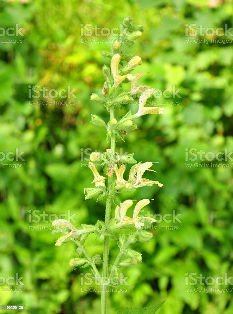 Sticky sage (Salvia glutinosa) stock photo