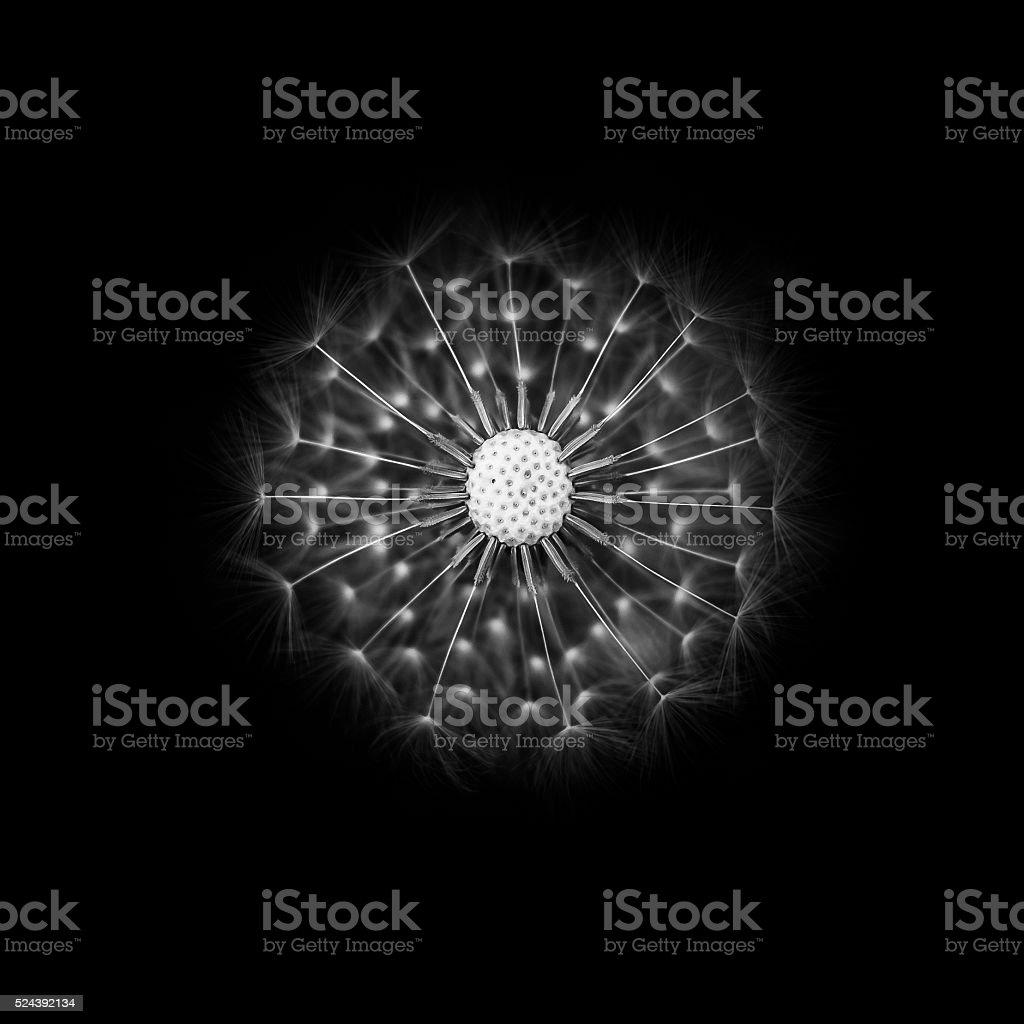 Still Life: Dandelion 2 stock photo