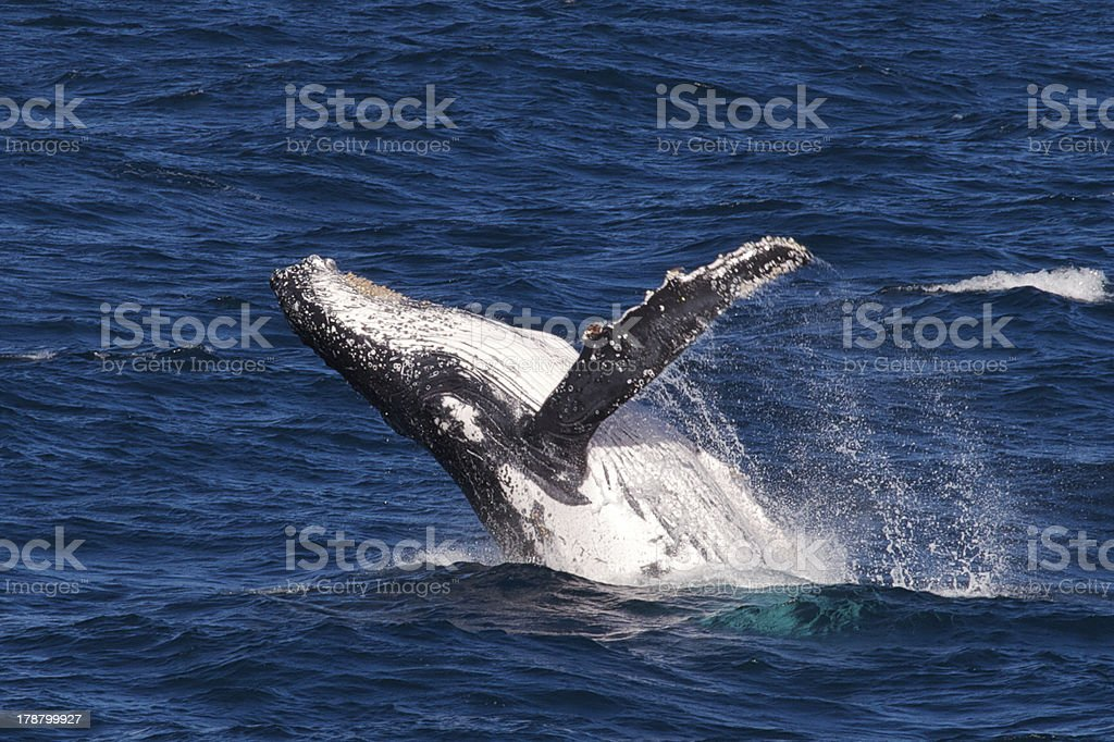 Still life of humpback whale breaching in ocean stock photo